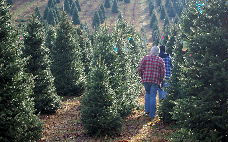 Choose & Cut Christmas Tree Farms Avery County