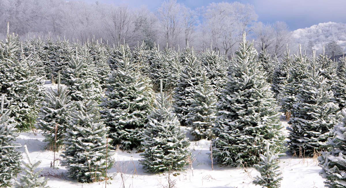 Christmas Tree Farms near Sugar Mountain